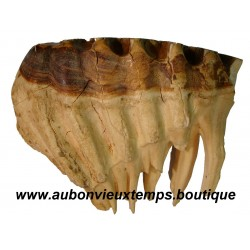 FOSSILE DENT MAMMOUTH